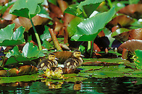 Mallard duuck ducklings on lily pads.