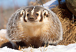 American badger, Minnesota