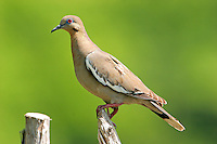 White-winged dove adult on fence post