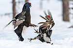 Fighting grouses ruffle a few feathers by Ingo Gerlach