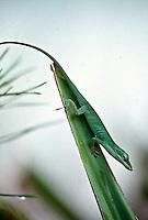 Green anole, Daytona Beach, FL . (Photo by Brian Cleary / www.bcpix.com)