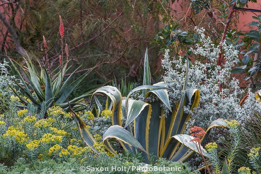 Agave americana variegata, Buddleia marrubifolia - Wooly butterfly bush, Euphorbia rigida in Nan Sterman Garden