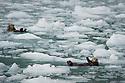 July 17 thru 23 / Alaska / Vacation and stock photography / Sea Otters play in Harriman Fjord near Surprise Glacier, Alaska / Photo by Bob Laramie