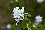 Idaho, Post Falls. Syringa, Idahos state flower has delicate white petals, grows wild and blooms in April and May.
