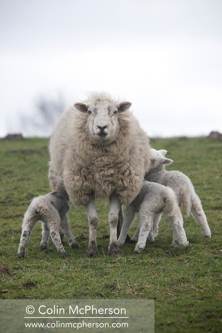 A ewe with three feeding lambs on a hillside overlooking the village of  Mellor, Lancashire, one of the locations on the newly-created Ribble Valley Food Trail. The initiative was started by Ribble Valley Borough Council to promote businesses involved in  catering, hospitality and tourism and was designed to highlight local producers.