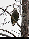 Bald Eagle, Madison River, Yellowstone National Park