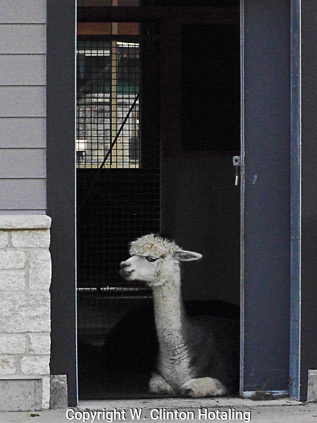 A llama hanging out at his house in Henry Vilas Zoo, Madison, Wisconsin.