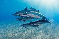 pod of Hawaiian spinner dolphins or Gray's spinner dolphins, Stenella longirostris longirostris, resting and socializing, Hookena, Kona, Big Island, Hawaii, USA, Pacific Ocean