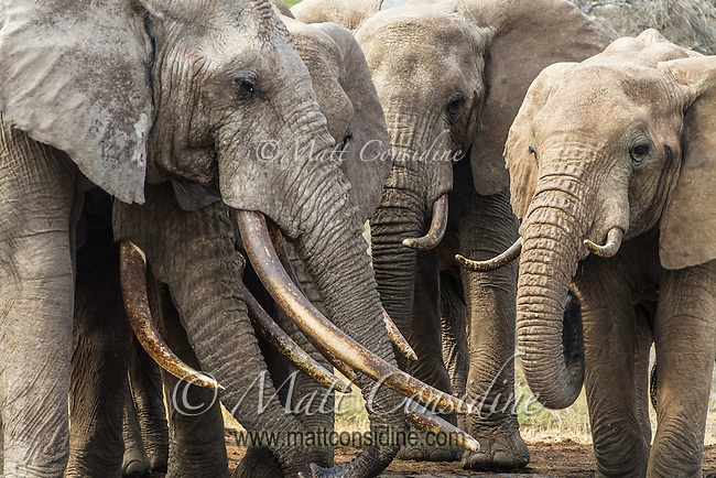 Elephants gathering in a tight group facing each other in Kenya, Africa (photo by Wildlife Photographer Matt Considine)