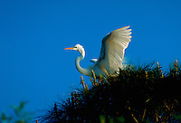 A Great Egret taking flight.