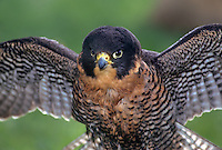 527952589 a captive falconers peregrine falcon falco peregrinus perches while spreading its wings