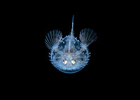 larval Pancake Batfish, Halieutichthys aculeatus, photographed during black water dive in about 50 feet with the bottom more than 600 feet below, Palm Beach, Florida, USA, Atlantic Ocean
