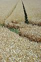 13/07/22 - CHAPPES - PUY DE DOME - FRANCE - Culture de ble tendre en limagne - Photo Jerome CHABANNE