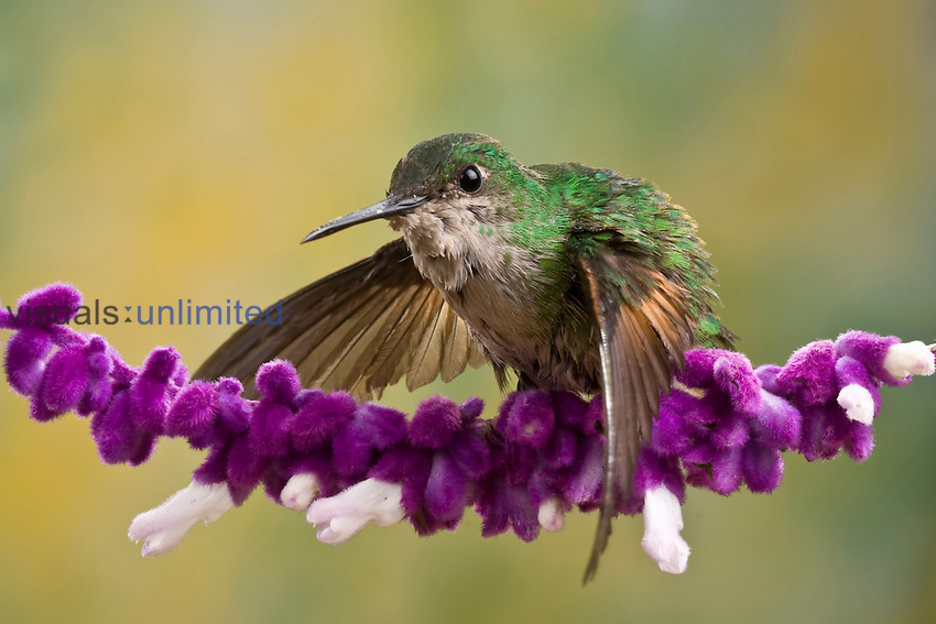 Striped-tailed Hummingbird (Eupherusa eximia) on a Salvia flower, Costa Rica