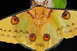 Comet Moth, Argema mittrei, female on cocoon case, yellow, scales, eye spots.Madagascar....