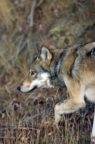 A wolf hunts small game in Denali National Park.