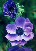 Anemone coronaria 'de Caan Mr Fokker', a violet-blue flower color variety of poppy anemone spring flowering bulb