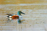 Ducks, northern shoveler, anas clypeata,