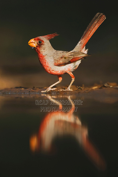 Pyrrhuloxia (Cardinalis sinuatus), male drinking, Rio Grande Valley, Texas, USA