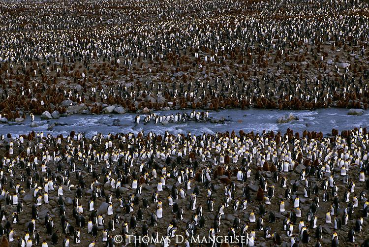 A king penguin colony near St. Andrews Bay on South Georgia.