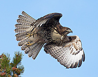 A juvenile red-tailed hawk takes off from its perch.