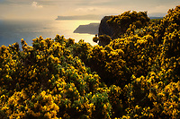 blooming gorse and view of coastline from Portaneevey Viewpoint. Northern ireland