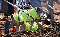 NWA Democrat-Gazette/DAVID GOTTSCHALK Rufus, a dog owned by Courtney Kremer, director of Animal Services for the City of Springdale, participates Tuesday, October 8, 2019, in the ground breaking ceremony for the new Animal Shelter and Adoption Center of Springdale. The new facility, located at 1549 E. Don Tyson Parkway, was made possible by a 2018 $200 million bond program voted on by residents that also includes money for streets, fire stations and a new city administration building.