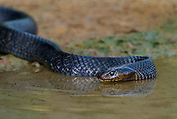 438950047 a wild adult texas indigo snake drymarchon corais erebennus swims and drinks in a small pond on dos venadas ranch starr county rio grande valley texas united states