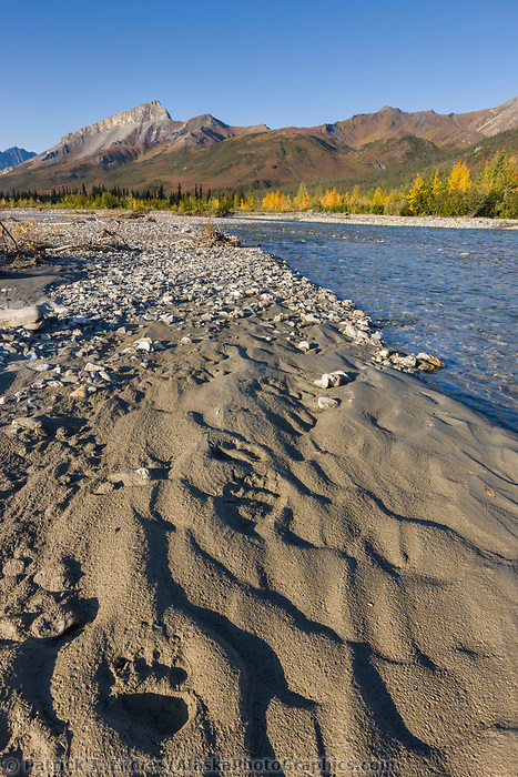 Grizzly bear tracks along the Dietrich River, Brooks Range, arctic, Alaska.
