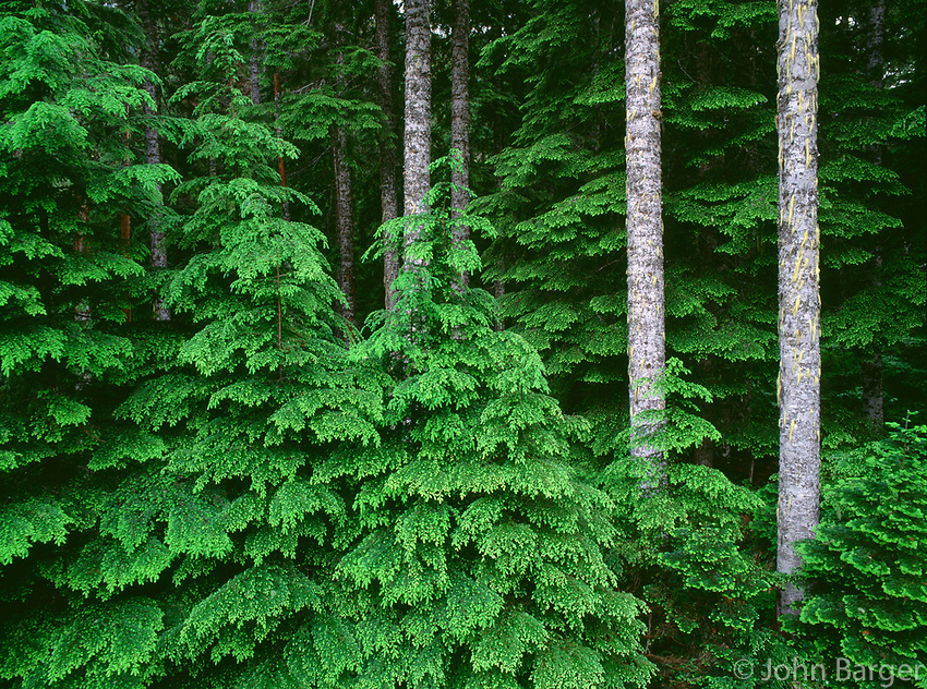 67ORCAC_046 - USA, Oregon, Willamette National Forest, New spring growth of western hemlock saplings and long straight trunks of mature noble fir.