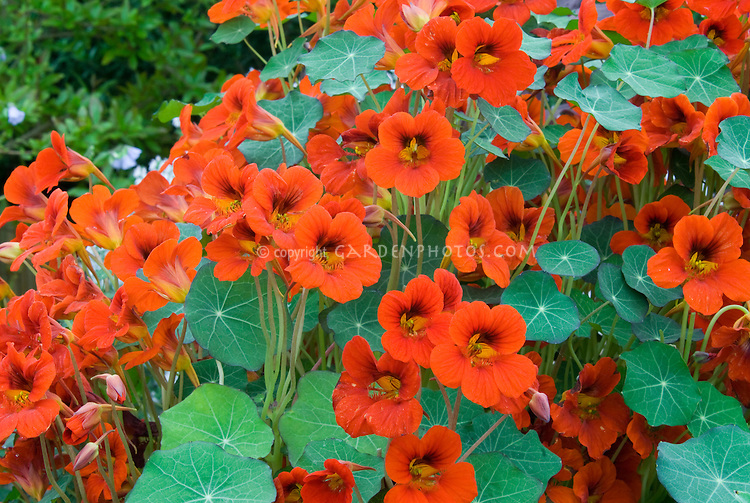 Flowers and leaves of Nasturtium Empress of India with many red orange blooms and foliage plant habit