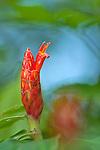 Costus flower, Costa Rica