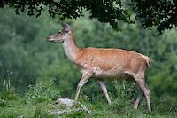 Rothirsch, Rot-Hirsch, Rotwild, Edelwild, Edelhirsch, Weibchen, Kuh, Hirschkuh, Cervus elaphus, red deer