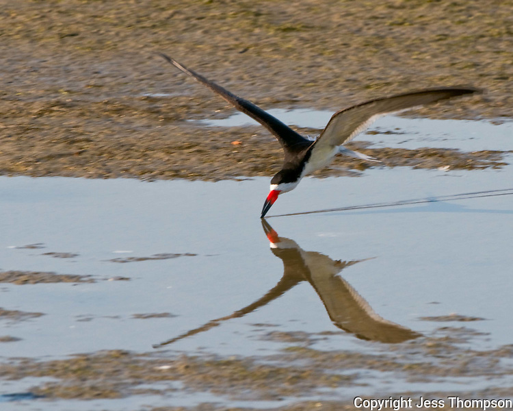 Black Skimmer fighing at South Padre Island, TX
