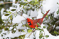 01530-21614 Northern Cardinal (Cardinalis cardinalis) male in American Holly (Ilex opaca) in winter Marion Co. IL