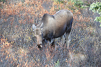 Denali National Park cow moose