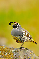 Male California Quail (Callipepla californica).  Pacific Northwest. Spring.