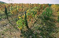 Vigne placée sur le trajet de l'autoroute.Beauregard de Terrasson.24 - Dordogne.France