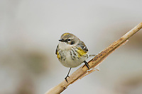 Yellow-rumped Warbler (Dendroica coronata), Sinton, Corpus Christi, Coastal Bend, Texas, USA
