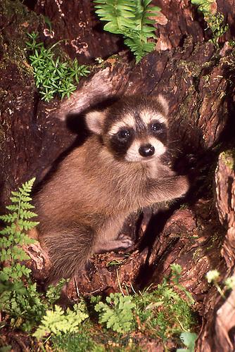 Newborn raccoon, pyron locotor