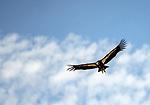 Condors*