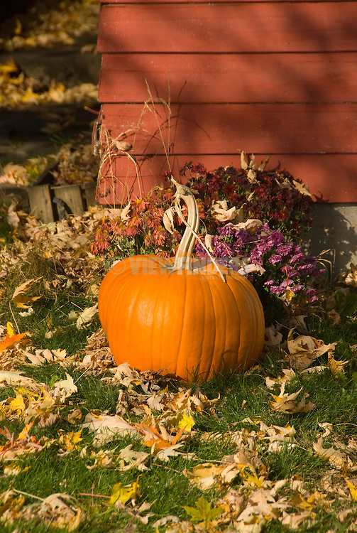A Pumpkin in a yard of leaves