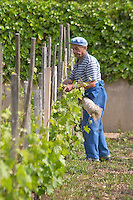 tying up vines vineyard with reed cornas rhone france