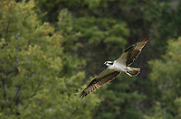 An osprey leaves the nest to go hunt.