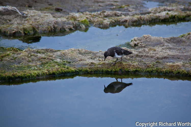 A shorebird thought to be a Black Turnstone checks its reflection at Bean Hollow State Beach on California's central coast south of San Francisco.