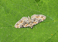 Foxglove Pug Eupithecia pulchellata Wingspan 18-20mm. Colourful and brightly marked little moth. The narrow wings are spread flat at rest with both forewings and hindwings visible. Adult has marbled reddish-brown and slate-grey forewings, and similar zones of colour on hindwings. Flies May–July. Larva feeds within Foxglove flowers. Widespread and common, particularly in south and west.