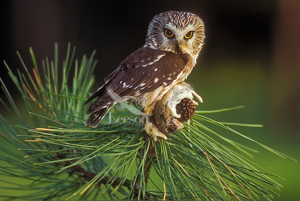 Northern Saw-Whet Owl (Aegolius acadicus) with deer mouse in pine, summer, Rocky Mountains, North America.