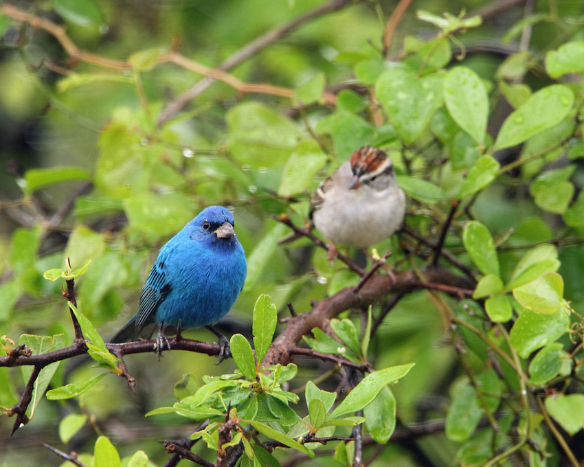 The brilliant blue of the Indigo Bunting sharply contrasts the sparrows colors..