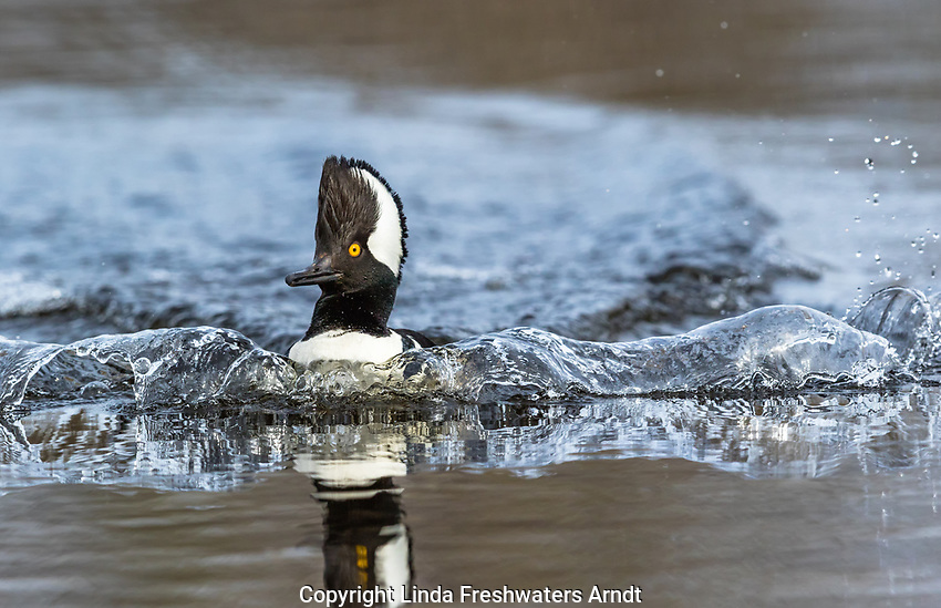 Drake hooded merganser creating a splash as he flys onto a northern Wisconsin lake.