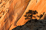 Sunset grow on Cliff, Pine tree on rock